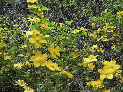 4月に咲く金剛山のヤマブキ