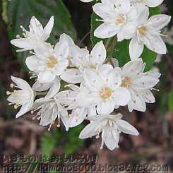 5枚花弁のマルバウツギ