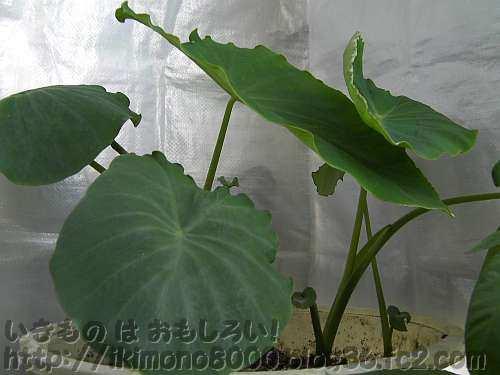 植え付け5週間後のタルサトイモ