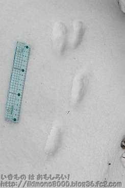 金剛山モミジ谷のくずれたウサギ型足跡