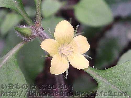 コナスビの花