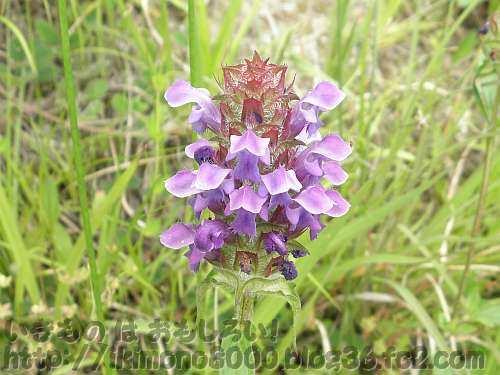 夏至一週間前の下赤阪の棚田で咲いていたウツボグサ