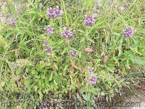 まとまって咲いている下赤阪の棚田のウツボグサ