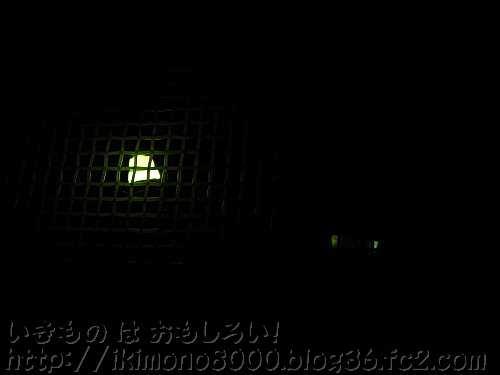 左のホタル♂が光っているときは右のホタル♂は暗く