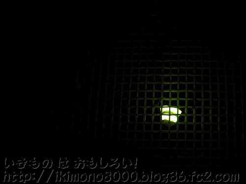 右のホタル♂が光っているときは左のホタル♂はほとんど光らない
