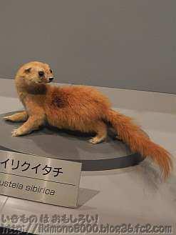 人と自然の博物館のタイリクイタチ(チョウセンイタチ)の剥製