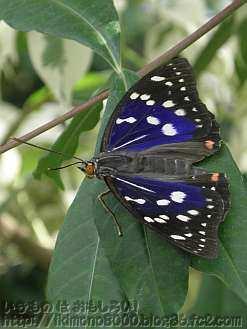 羽が紫色のオオムラサキのオス