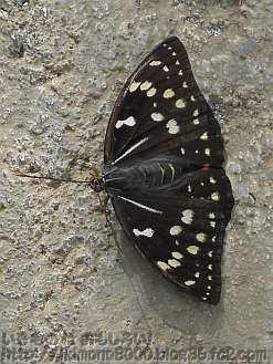 羽が黒いオオムラサキのメス