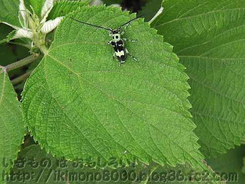 カラムシの葉の上の蛍光っぽい黄緑色と黒の小さなカミキリ