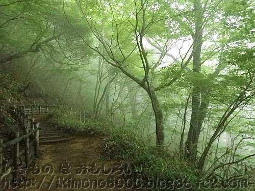 梅雨の金剛山八合目のブナ林