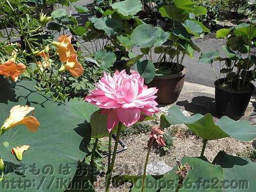 ハス「飛紅」の花