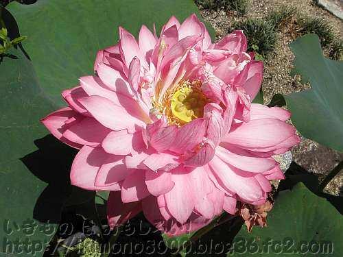 花の中心に種のような雌蕊がつまった花托が見える「飛紅」