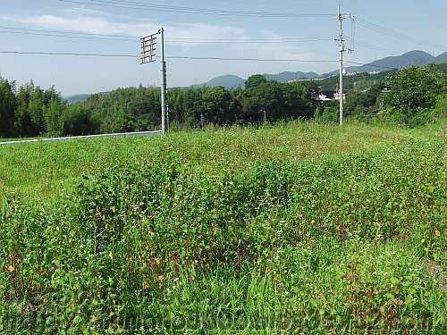 千早赤阪村の棚ソバ畑