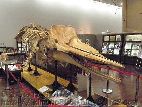 愛称募集中のマッコウクジラ