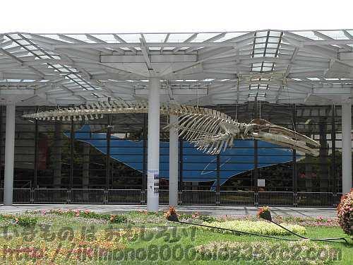 19mのナガスクジラのナガスケ