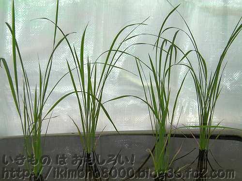 田植えがすんだ6月末のプランター稲