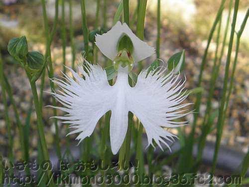 サギソウの花のアップ