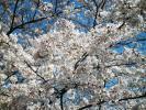 P4060012 桜