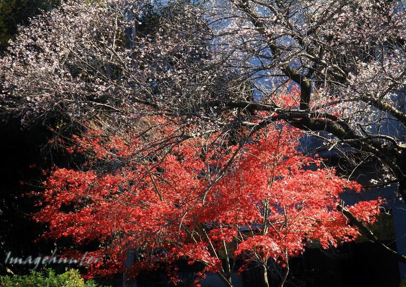桜&紅葉 (800x566)