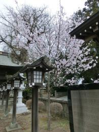 h25桜満開