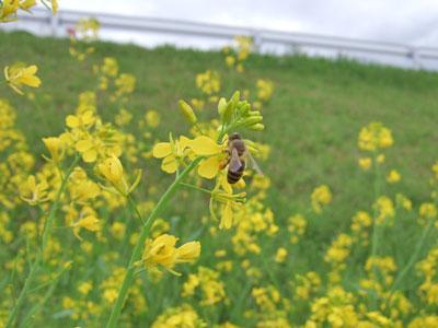 菜の花とミツバチさん