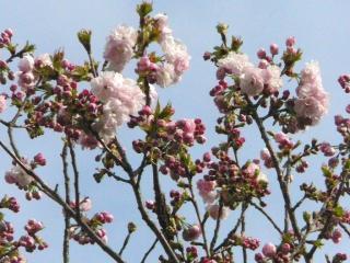 きれぎれの風採 「サトザクラ種」1-5