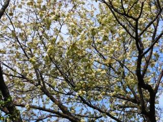 きれぎれの風採 「サトザクラ種」1-3