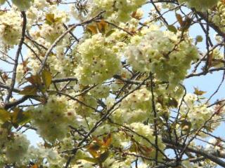 きれぎれの風採 「サトザクラ種」1-4