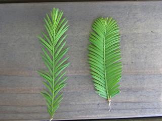 きれぎれの風採 「曙杉と沼杉の葉比べ」1-1