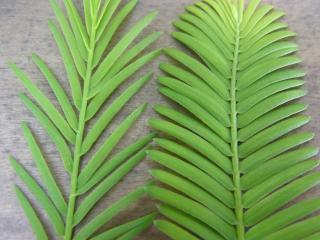 きれぎれの風採 「曙杉と沼杉の葉比べ」1-2