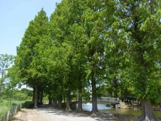 きれぎれの風採 「曙杉と沼杉の葉比べ」1-3