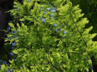 きれぎれの風採 「曙杉と沼杉の葉比べ」1-4