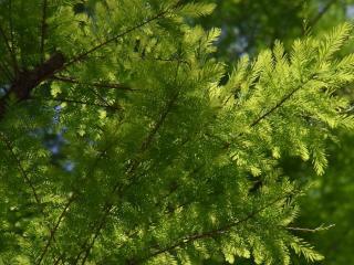きれぎれの風採 「曙杉と沼杉の葉比べ」1-5