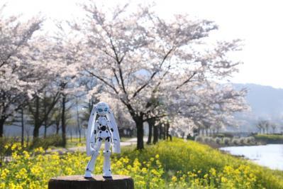 桜 菜の花 ドロッセル