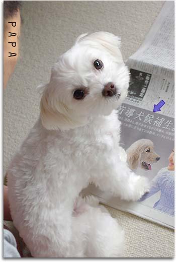盲導犬候補生