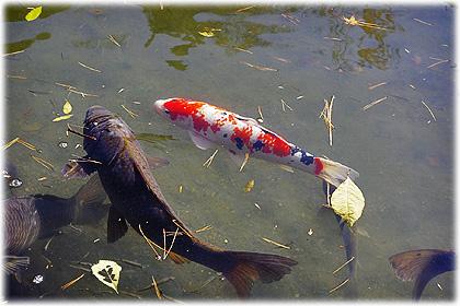 兼六園(池の鯉)