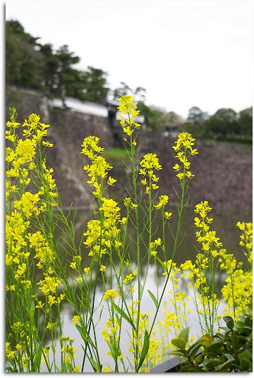 菜の花とお堀