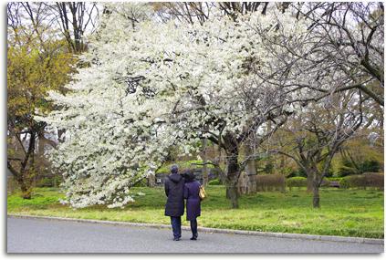 大きな桜。