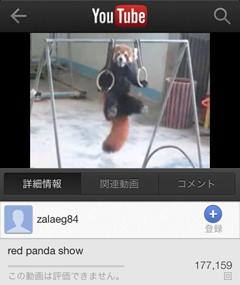 レッサーパンダの吊り輪ショー