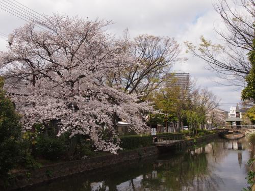2013西川桜1