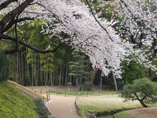 2013後楽園桜1