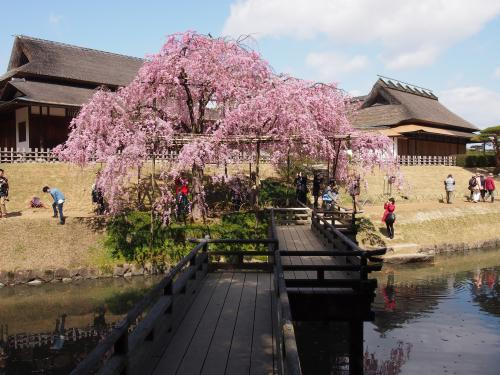 2013後楽園桜2