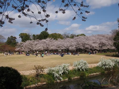 2013後楽園桜4