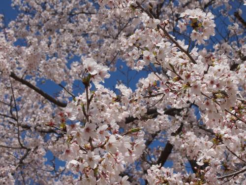 2013後楽園桜5