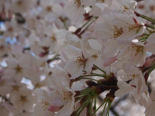 2013後楽園桜6
