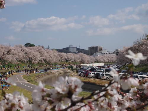 2013河川敷桜