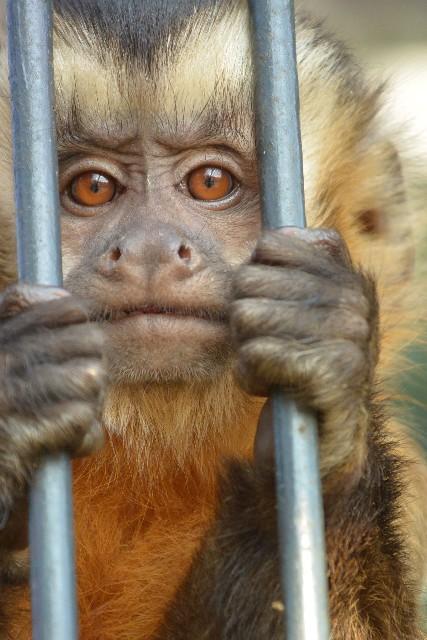 見つめる猿