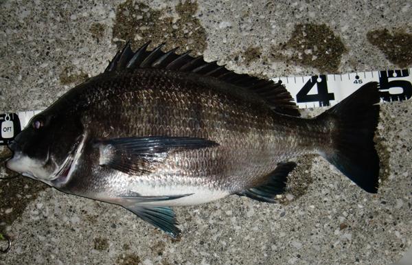 48cm黒鯛