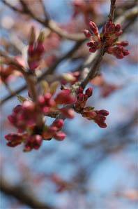 0330フェアリー前桜3