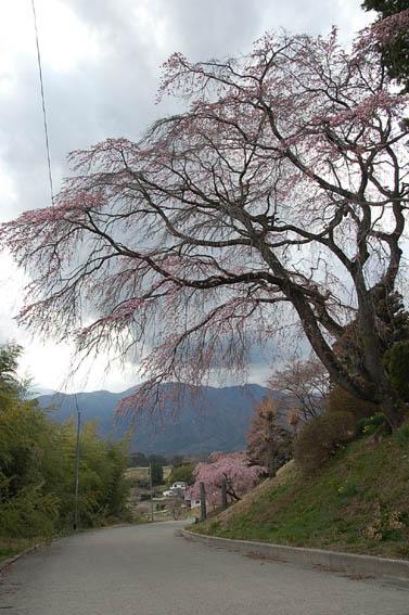 0411桜